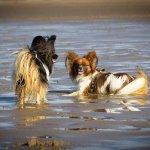 Honden op het strand (Springstal 't Bergse Bos)